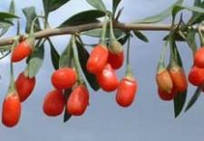 Полезная ягода годжи